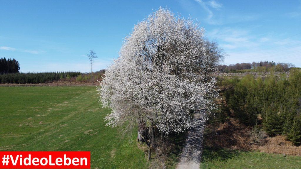 Baumblüte im oberbergischen Land - Videoleben