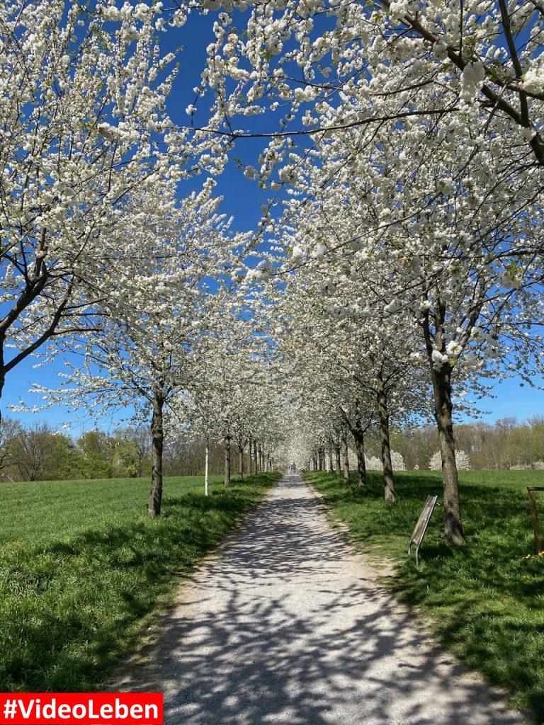 Blütenpracht in Mülheim an der Ruhr oberhalb des Witthausbusch - Videoleben
