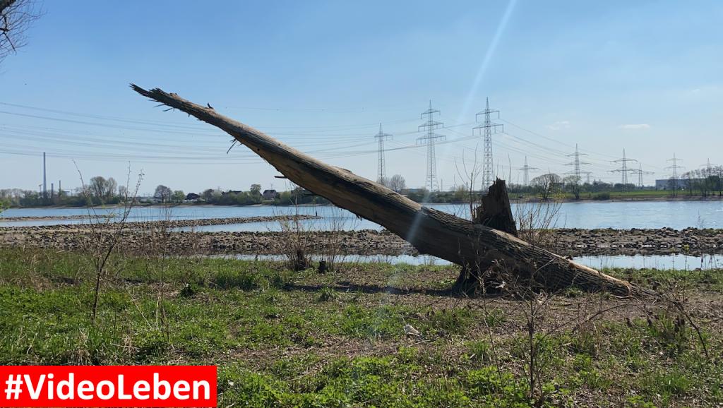 Rheinstrand Baumreste an der Wuppermündung - Videoleben