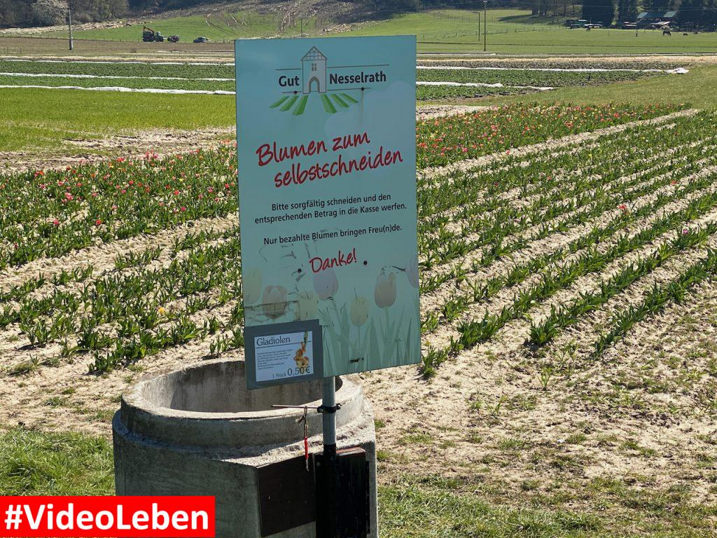 Tulpenfeld in Leichlingen - Tulpen zum selberpflücken - Videoleben