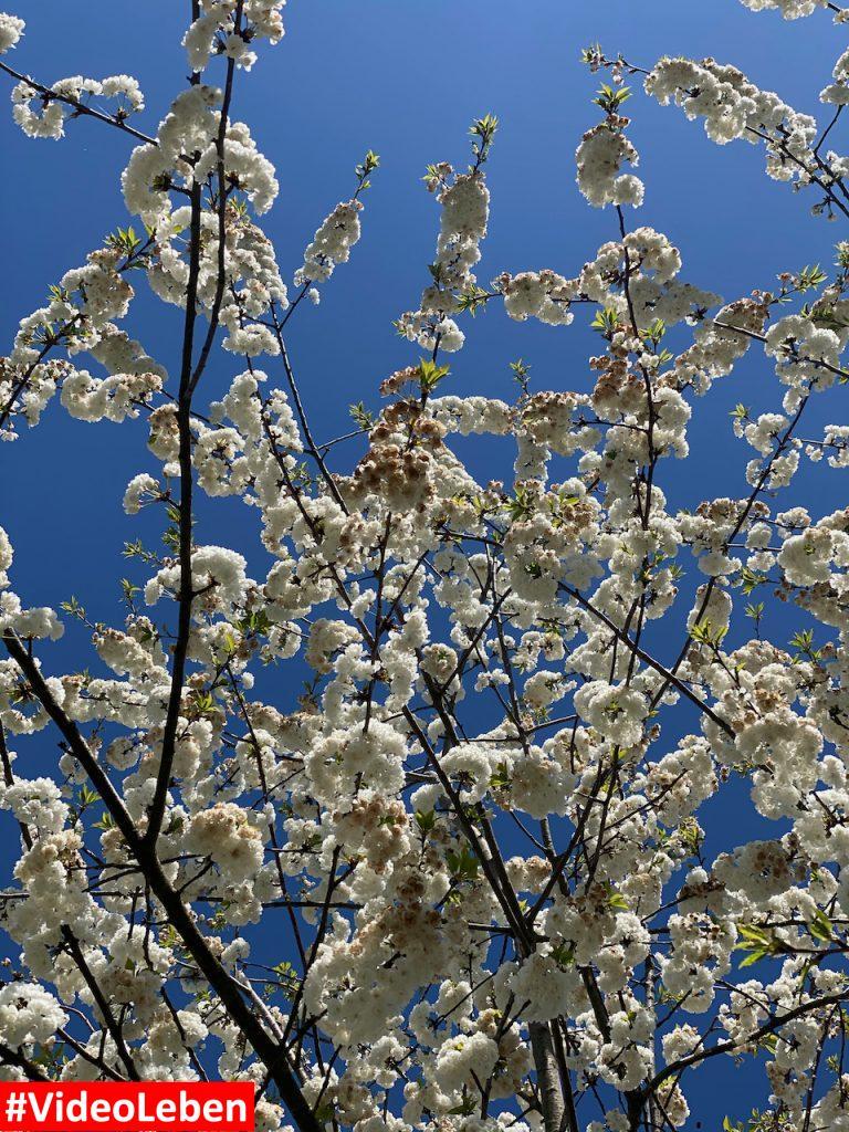 ein herrlicher Blick nach oben in der Blütenpracht in Mülheim an der Ruhr oberhalb des Witthausbusch - Videoleben.jpeg