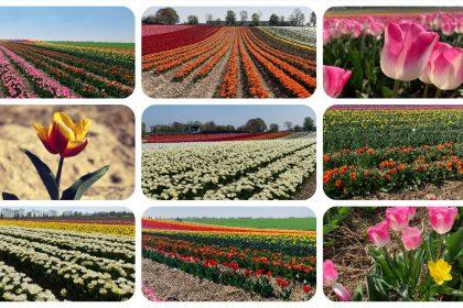 Tulpenmeer - Paulushof bei Grevenbroich - Tulpenfelder - Videoleben - Ausflugstipps trotz Corona